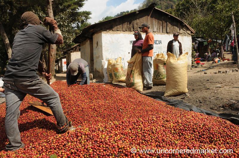 Coffee Berry Workers - Lake Atitlan, Guatemala