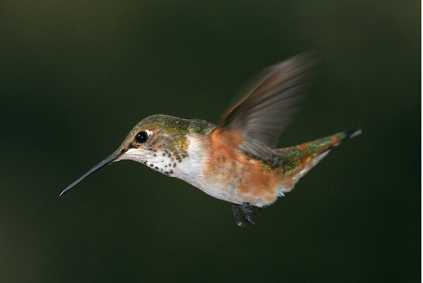 2006_12_17 Rufous Hummingbirds