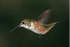 4x6 Rufous Hummingbird crop PSE IMG_4171