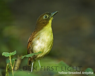 Yellow-breasted Antpitta, Angel Paz Lek, Ecuador