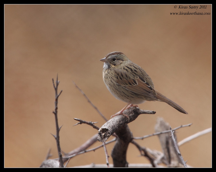 Lincoln Sparrow, Paton's Feeders, Patagonia, Arizona, November 2011