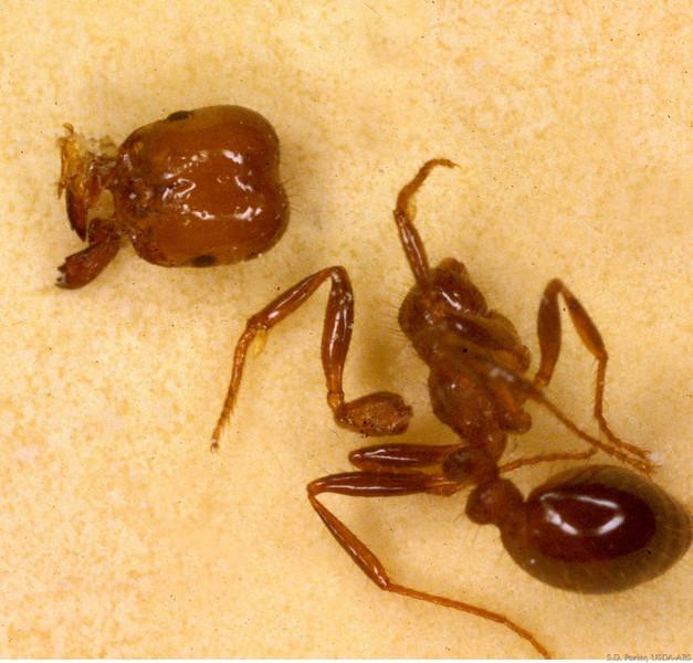 decapitated ant.jpg