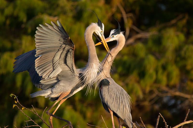 Great Blue Herons Nesting Ritual FL 2020-3.jpg