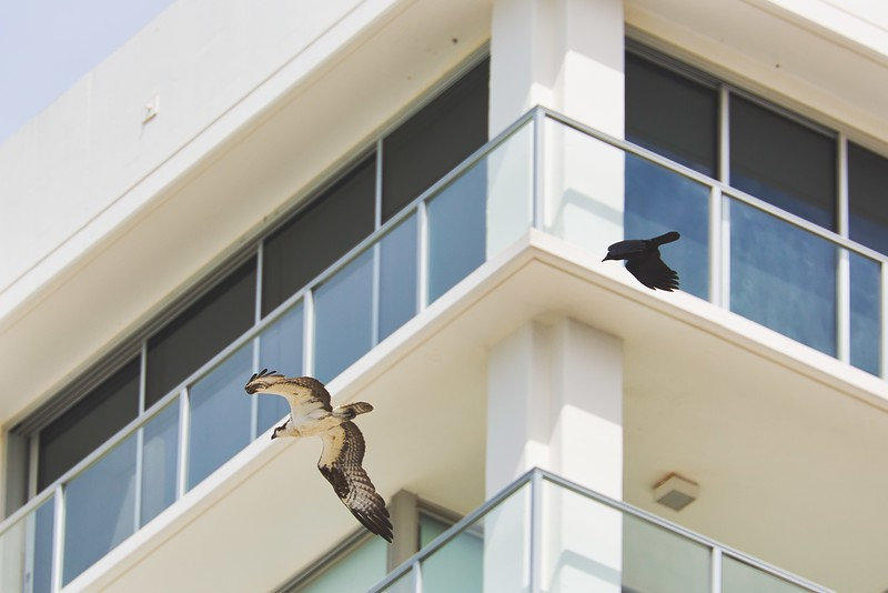 Crow chases Osprey.jpeg