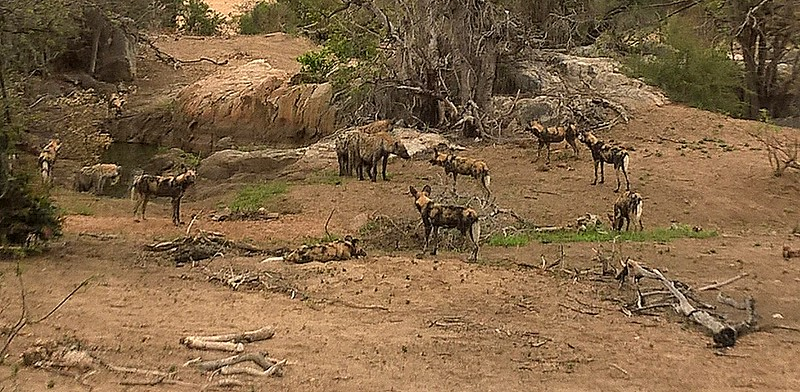 The hyenas, outnumbered,  confront the pack of wild dogs over some animal bones.