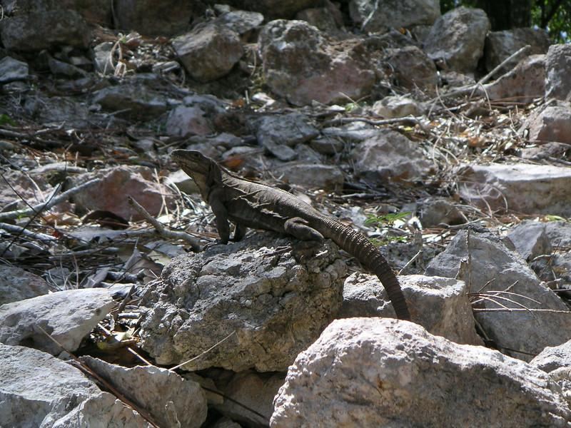 19 Iguana.jpg