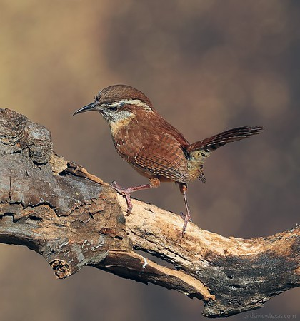 Sparrows/Wrens