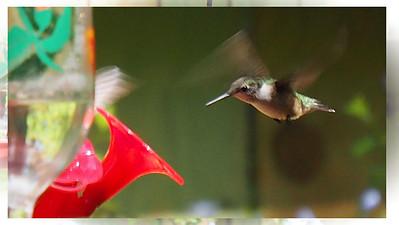 Rockport Hummingbird Festival Sept 2015