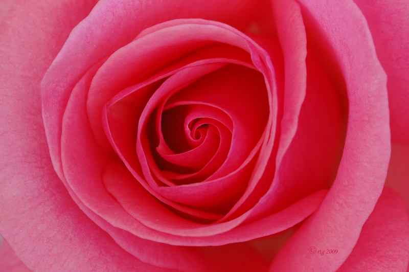 Flower_Rose_Pink_0374.jpg