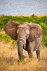 Wild elephant eating tall grass in Africa.