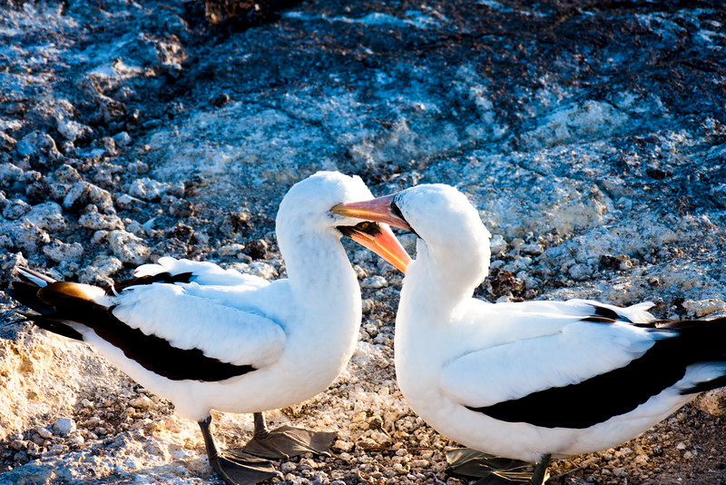 Helping Groom : Journey into Genovesa Island in the Galapagos Archipelago