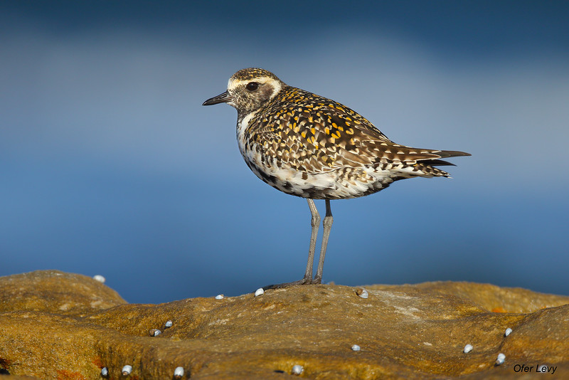 Pacific Golden Plover 5.jpg