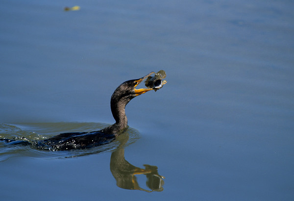 Double-crested Cormorrant