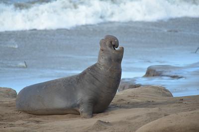 Ano Nuevo Elephant Seals 2013