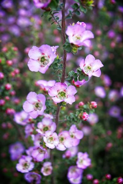 Cranbourne Garden - Leptospermum rotundifolium 'Lavender Queen'