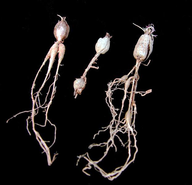 Pelargonium aridicola tuber