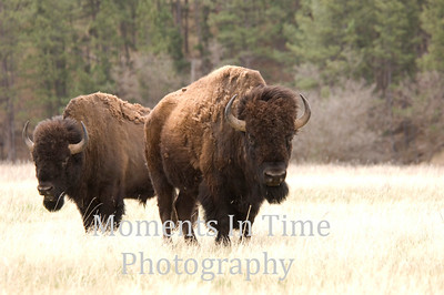 Moose and bison