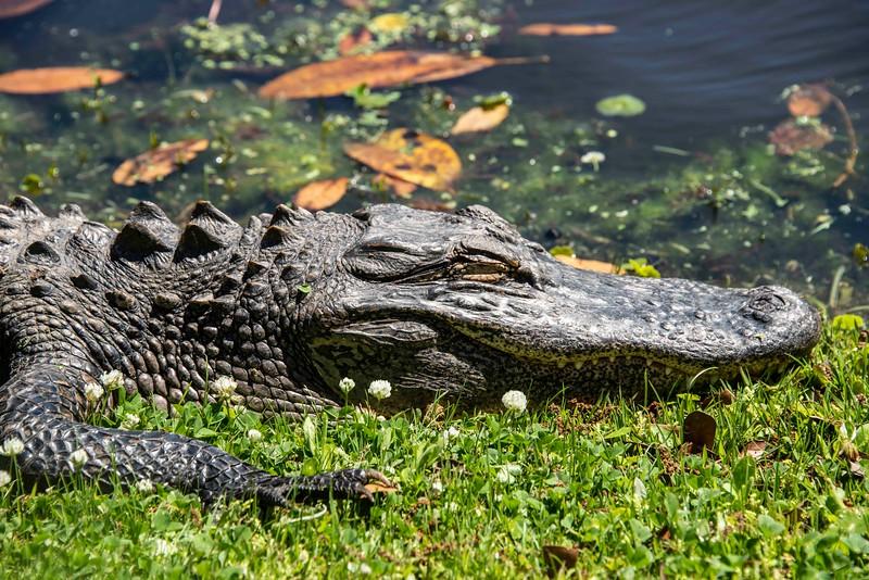 Alligator_South Carolina