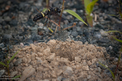 Smokey-winged Beetle Bandit (Cerceris fumipennis)