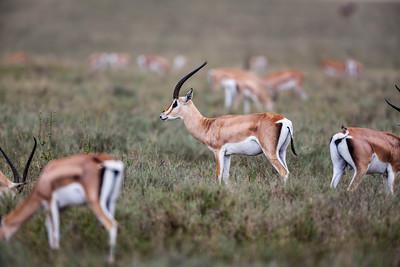 Grant's Gazelles.