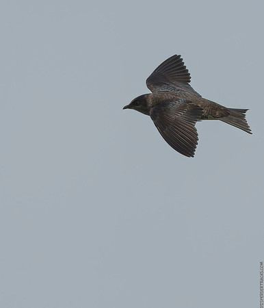 Purple Martins and other birds