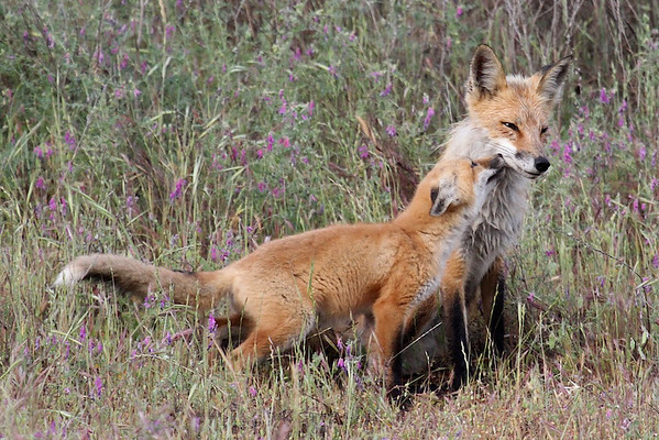 North Livermore foxes Apr May 2014