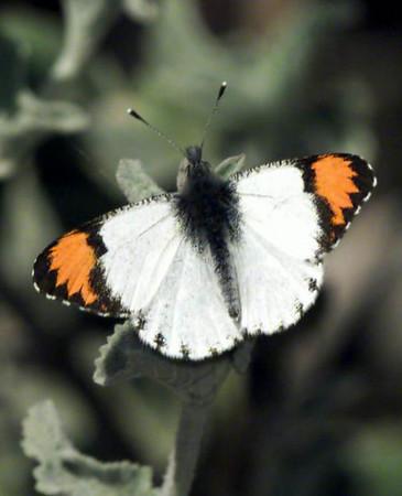 Sara Orangetip