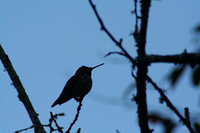 Hummingbird Silhouette.JPG