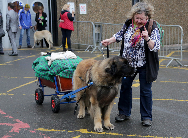 . A dog pulls a trolley as he leaves with his owner at the end of the first day of Crufts dog show at the NEC on March 6, 2014 in Birmingham, England. Said to be the largest show of its kind in the world, the annual four-day event, features thousands of dogs, with competitors traveling from countries across the globe to take part. Crufts, which was first held in 1891 and sees thousands of dogs vie for the coveted title of \'Best in Show\'.  (Photo by Matt Cardy/Getty Images)