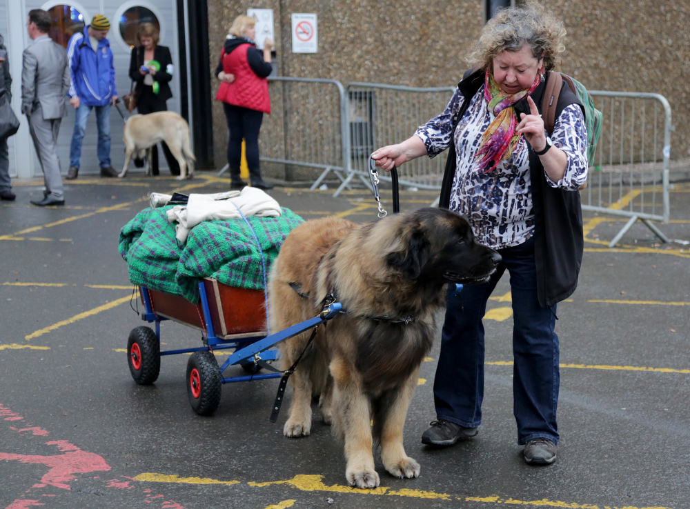 Description of . A dog pulls a trolley as he leaves with his owner at the end of the first day of Crufts dog show at the NEC on March 6, 2014 in Birmingham, England. Said to be the largest show of its kind in the world, the annual four-day event, features thousands of dogs, with competitors traveling from countries across the globe to take part. Crufts, which was first held in 1891 and sees thousands of dogs vie for the coveted title of 'Best in Show'.  (Photo by Matt Cardy/Getty Images)