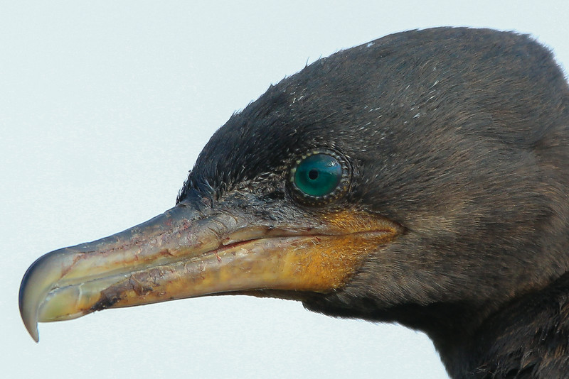 zAnahuac 8-14-14, OLD T3i, 057A, Cormorant eye close up (1 of 1).jpg