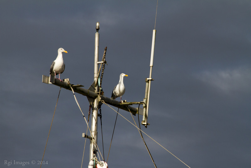 Gulls, Westport Marina, Westport, WA.