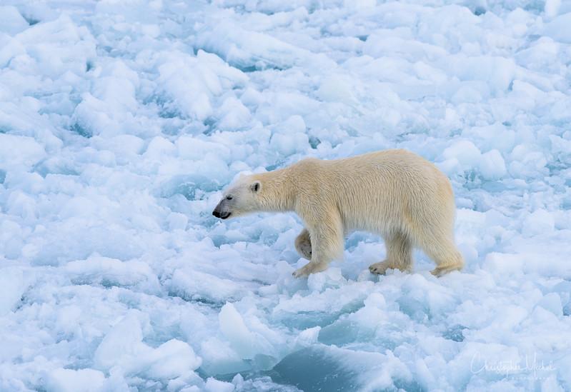 Bear Walk Crunchy Ice.jpg