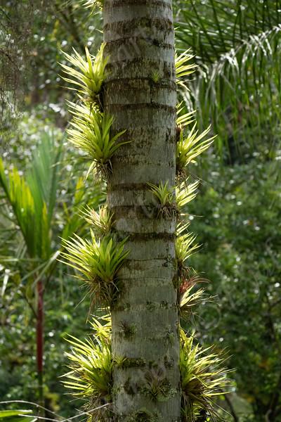Bromeliad Growing On A Tree In Selvatura Park, Monteverde, Costa Rica  EYL00521.jpg