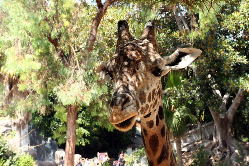 giraffe 3.jpg