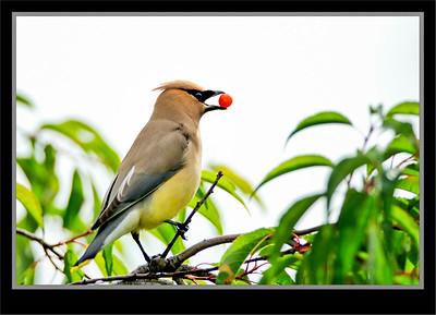 Catbird, Mockingbirds, Phainopepla, Thrashers,  Waxwings