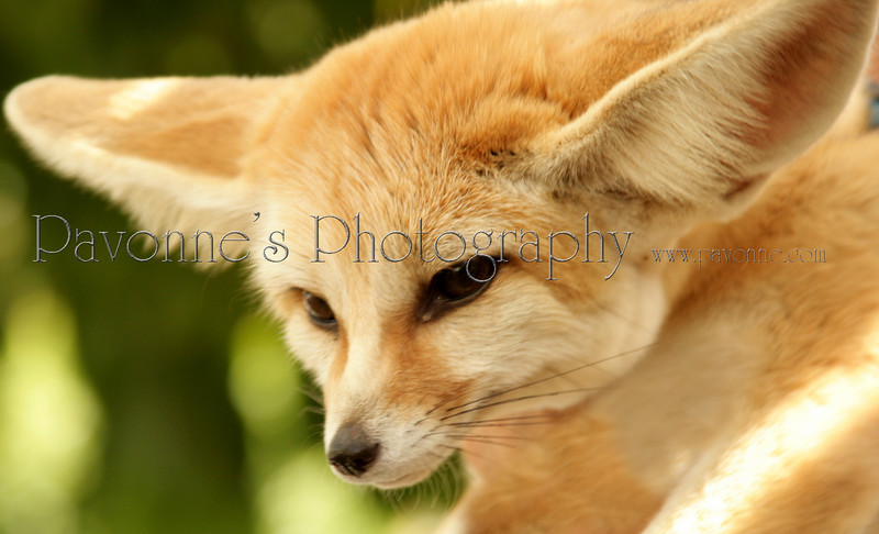 This fox is about as big as a house cat and he is the fastest moving out of all the foxes. He lives in the Sahara desert and his ears are really big. They are used to scatter the desert heat and to hear enemies or possible food coming his way. His bushy tail helps him to stay warm at night. They can be domesticated and can be quite friendly. One of his favorite delicacies is scorpions.