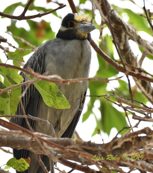 Yellow-crowned Night Heron  - 6/24/2019 - Imperial Beach Sports Park