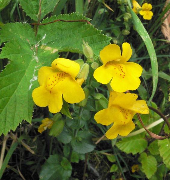monkeyflower3.jpg