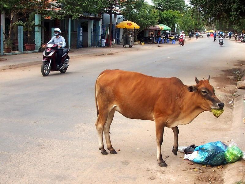 P1307133-cow-eating-jackfruit.JPG