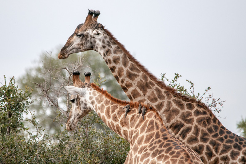 Giraffes feeding in Kruger National Park