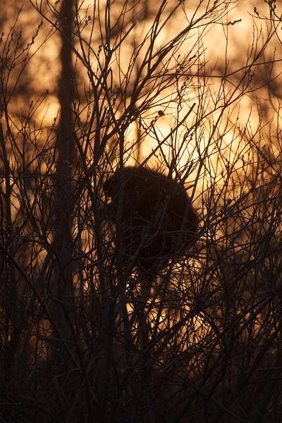Porcupine McDavitt Rd Sax-Zim Bog MN IMG_9460.jpg
