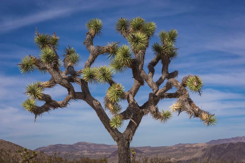 Joshua Tree-6932.jpg