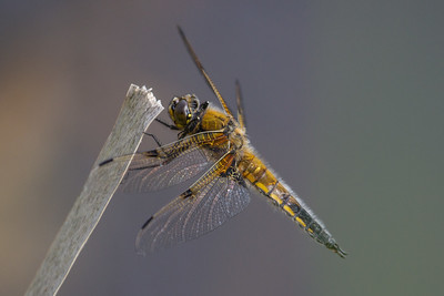 Four-spotted Chaser ~ Fireplettet Libel