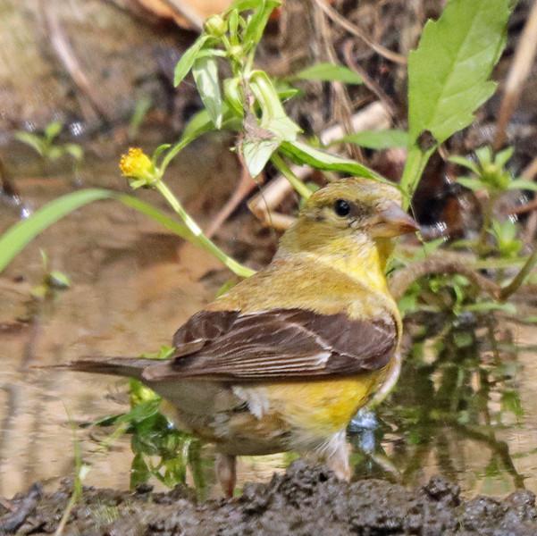 Female goldfinch 31