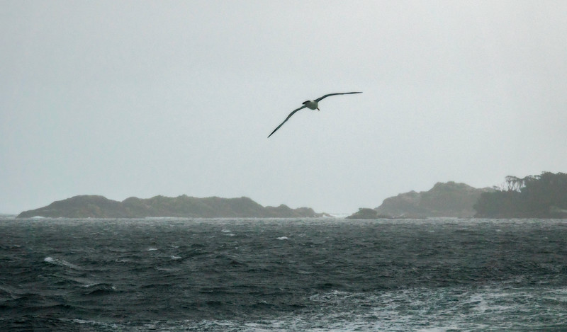 Albatross Over Tasman Sea