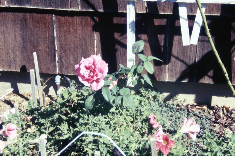 HCA-GII-001-My Rose Sept 17 1990.jpg
