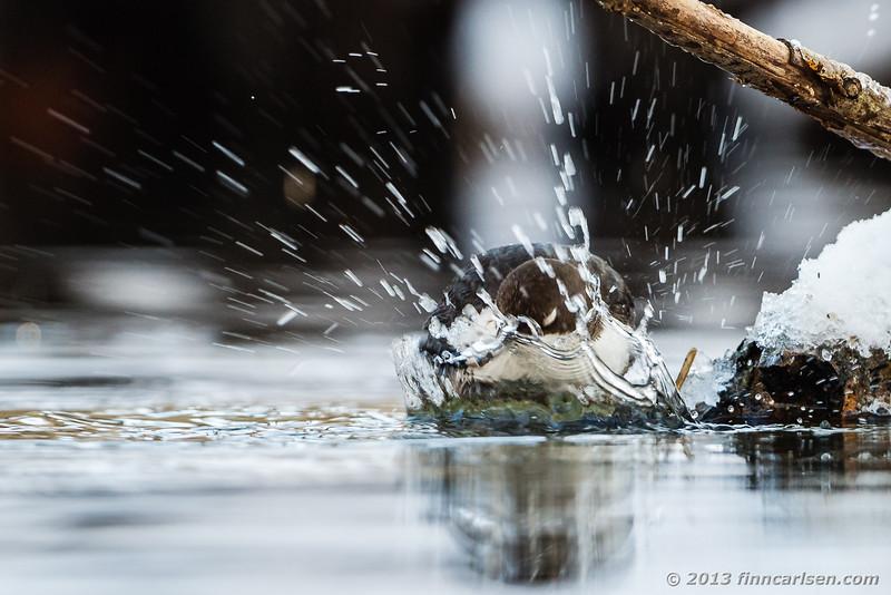 Vandstær (Cinclus cinclus - White-throated Dipper)