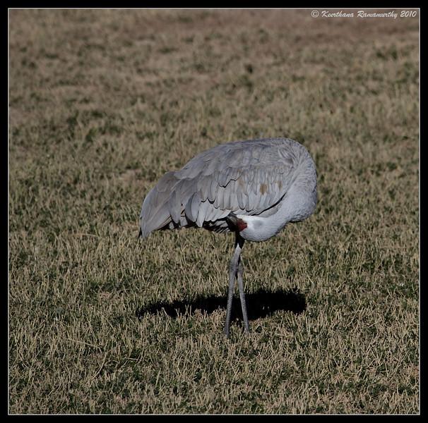Sandhill Crane preening, Bosque Del Apache, Socorro, New Mexico, November 2010
