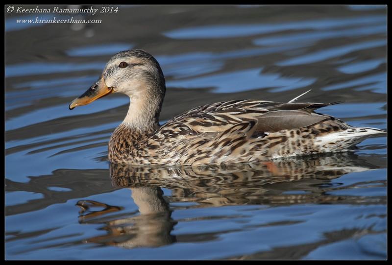 Mallard female, Santee Lakes, San Diego County, California, February 2014